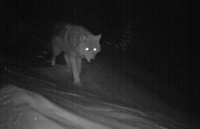 Минприроды Алтайского края объяснило появление волков в Белокурихе