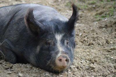 Отходами из ковидной больницы кормили чумных свиней в Сибири