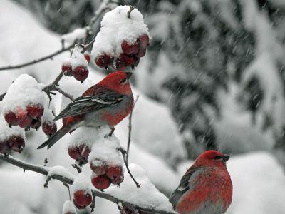 На свалках и промзоне: как птицы выживают в Новосибирске в мороз