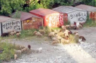 Бараны и овцы вышли на вечерний моцион на МЖК в Новосибирске