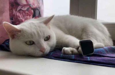 Кот Томас из Новосибирска научился умываться протезом лапы