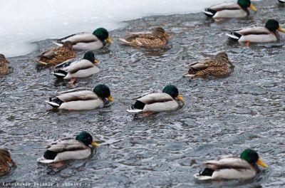 Полтысячи уток отважно встретят 40-градусные морозы в Томске