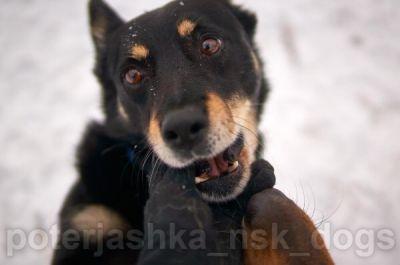 Новосибирскому псу Санте ищут дом в канун Нового года