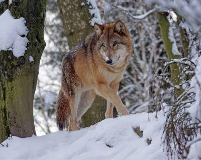 Волки вышли на улицы города-курорта Белокуриха