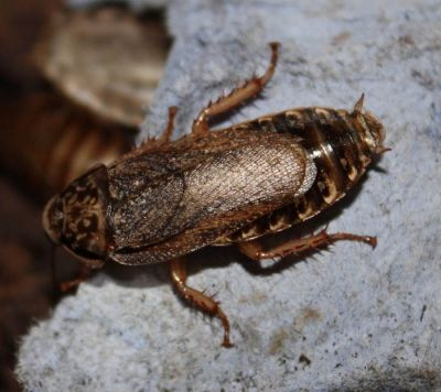 Закупка мраморного таракана объявлена в Новосибирске