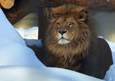 В Новосибирске лев Сэм оценил скалу с подогревом