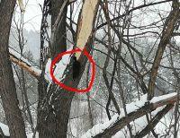 Здоровенный черный дятел «обожрал» полдерева в Новосибирске