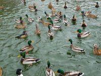 Дикие кряквы голодают в водоемах Новосибирска