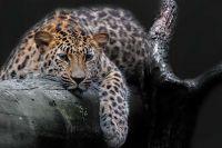 Как пятна помогают леопарду рассказали в Новосибирском зоопарке