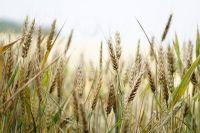 Пшеницу против болезни Альцгеймера выращивают в Новосибирске