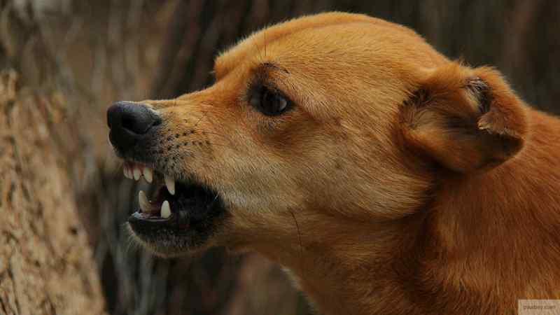 Стая рыжих собак терроризирует жителей Новосибирска