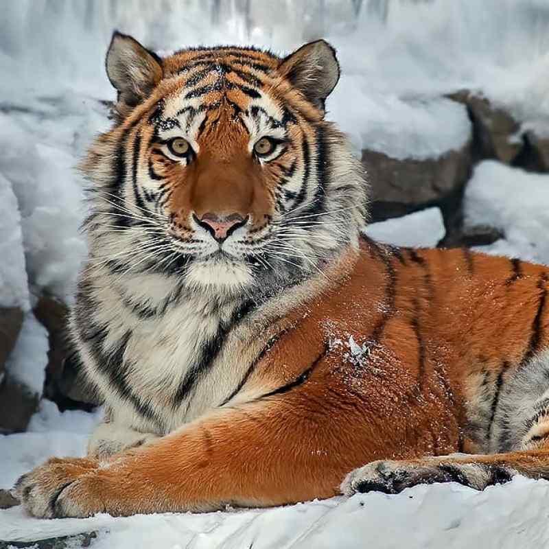 Тигру Максимусу из Новосибирска исполнилось 15 лет