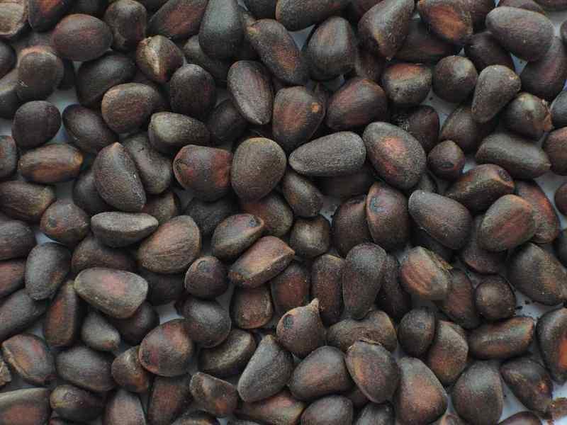 Китайцы распробовали кедровый орех из Сибири