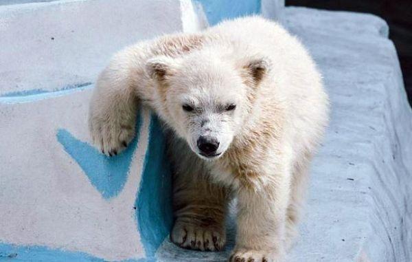 Белого медвежонка из Новосибирска назвали в честь Ростислава Шило