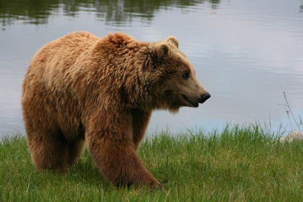 Медведь зашел домой к томским селянам — съел помидоры и закусил вареньем