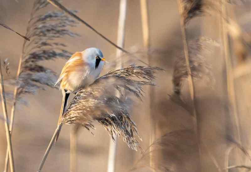 Редких усатых птиц заметили бердвотчеры в Сибири