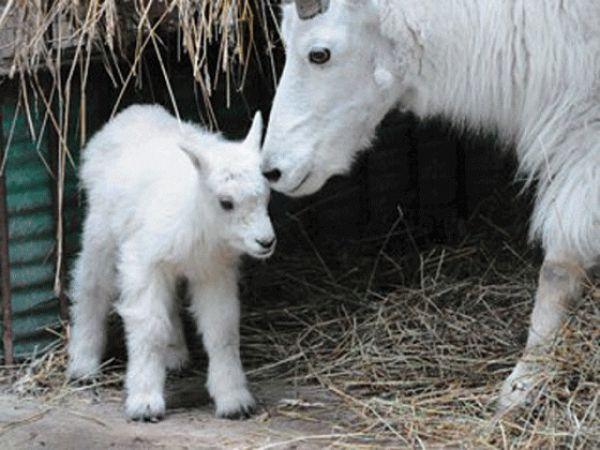Снежные козлята впервые родились в Новосибирском зоопарке