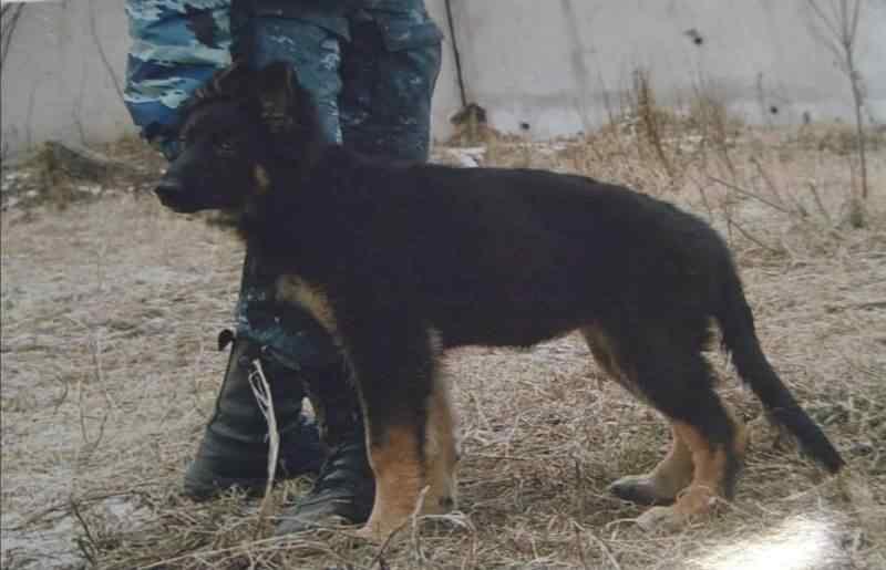 Овчарка Берта задержала вора-рецидивиста в Искитиме