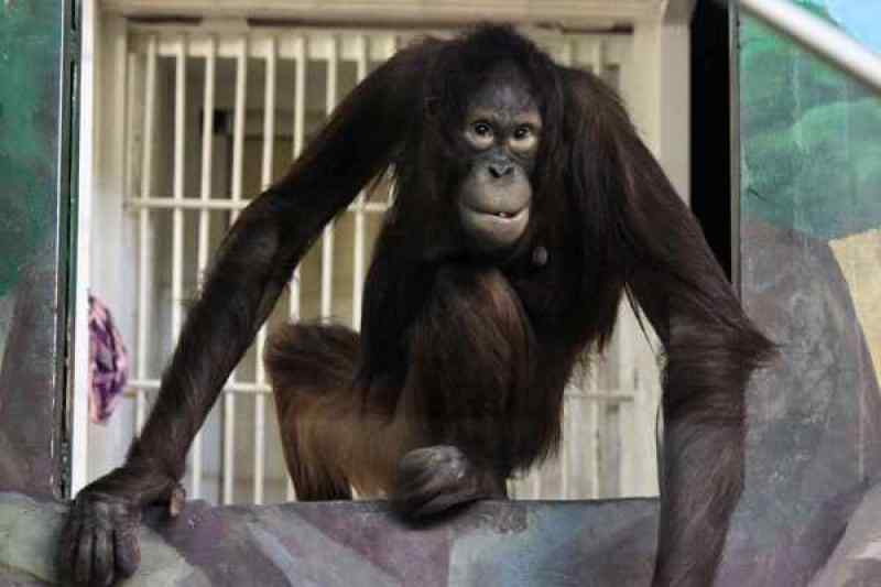 В зоопарк Новосибирска Мишель приехала в 2017 году.