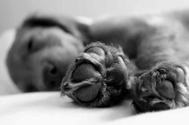 Обезображенного пса привезли лечить от гигантской опухоли в Новосибирск
