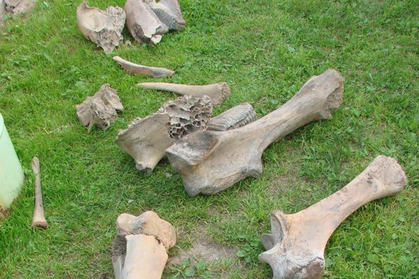 Сибиряк обнаружил на своем дачном участке кости двух мамонтов