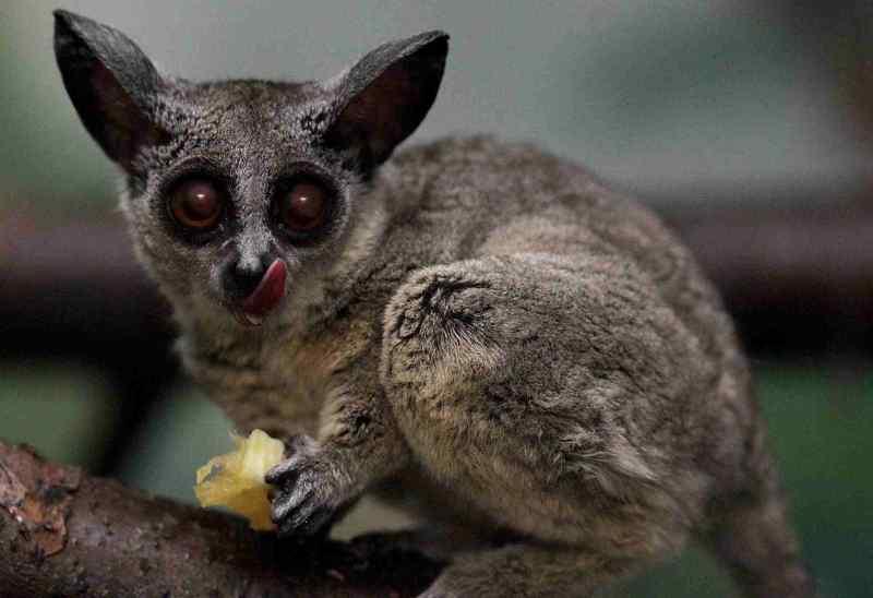 Милые сенегальские галаго дали потомство в зоопарке Новосибирска